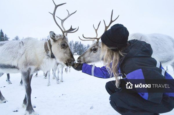Rendier in Lapland